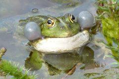 Frosch im Sternwartenteich (Foto: Peter Stolzen)